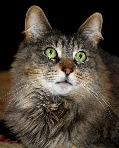 Adopt Cat Charlie