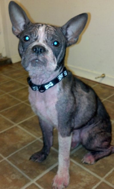 Boston Terrier Diablo is looking for a new home