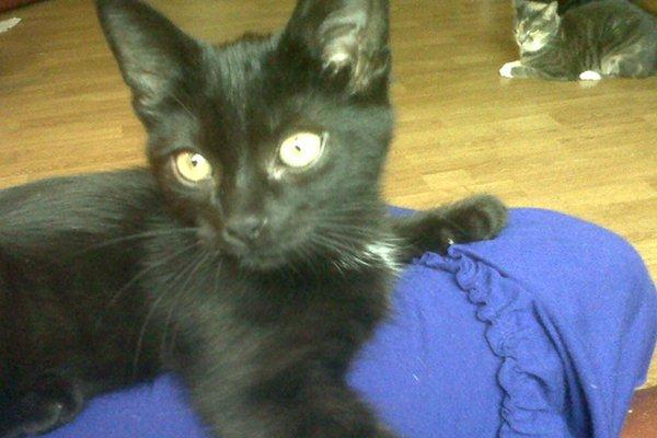 Adopt rescue kitten Jasper