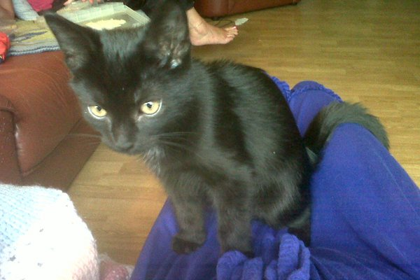 Adopt rescue kitten Oshawa