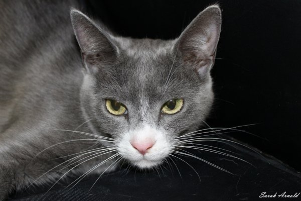 Adopt Rescue Cat Jimmy