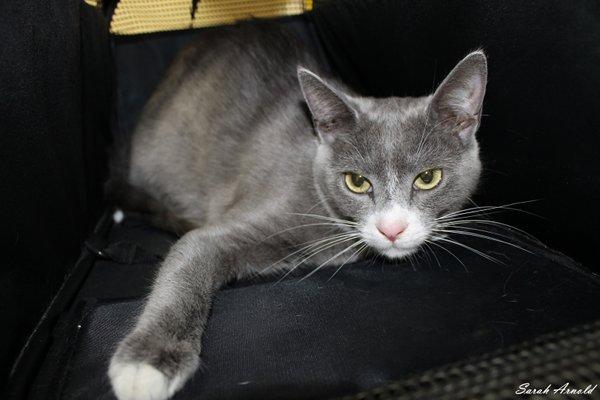Adopt rescue cat Jemina