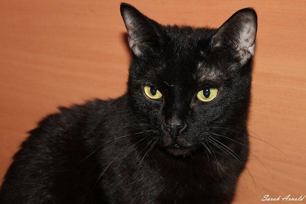 Adopt rescue cat Leo