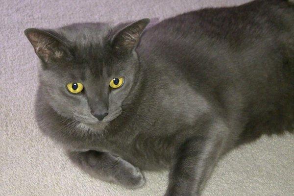 Adopt rescue cat Sampson