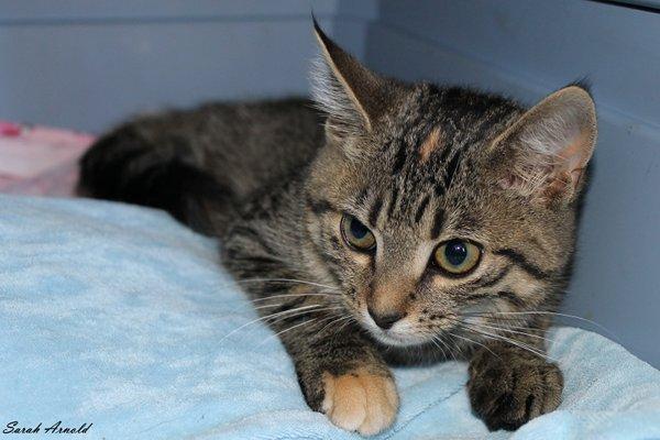 Adopt Rescue Kitten Sophee
