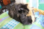 Ushi. Adorable Guinea Pig Finds A Home