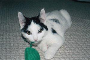 Adopt kitten jaxon
