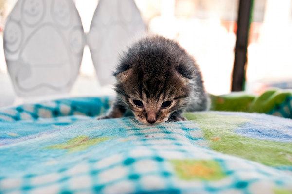 Rescue Kitten Little Stewie