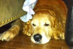 Golden 'Nugget'. Finds Perfect New Home