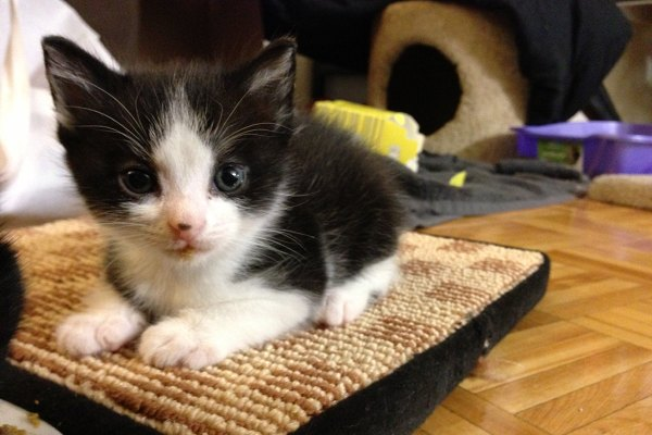 Rescue Kitten Cory For Adoption