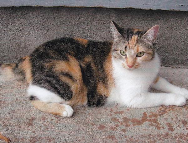 Adopt Cat Lola