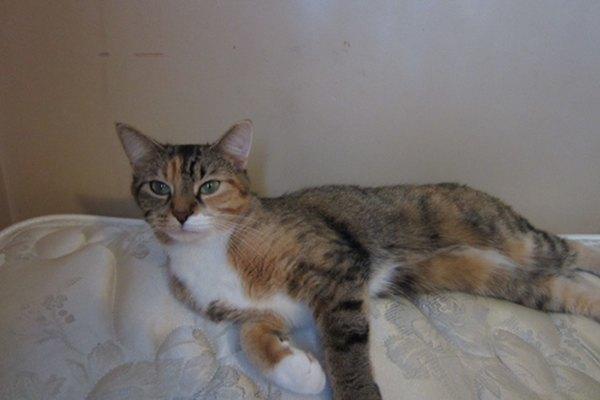 Adopt rescue cat Emma