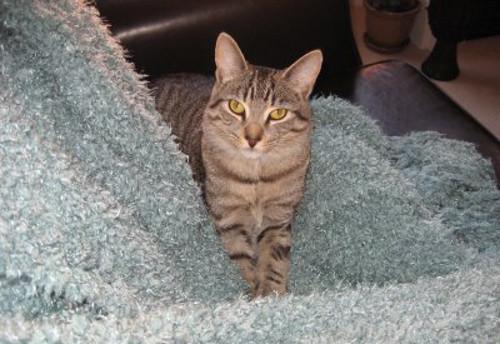 Adopt Rescue Cat Milo