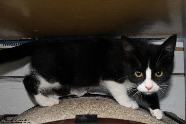 Adopt Rescue Kitten Phoebe
