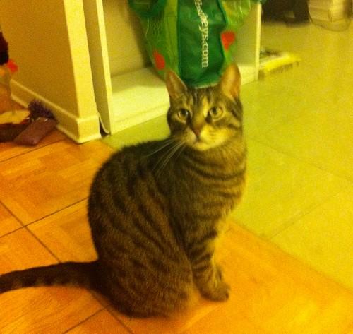 Cat named Tia for adoption