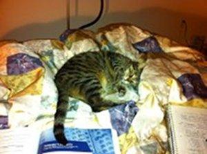 Adopt cat Tia