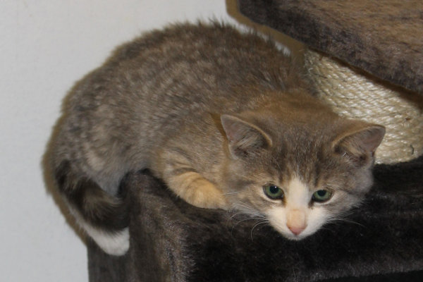 Adopt kitten named Farrah