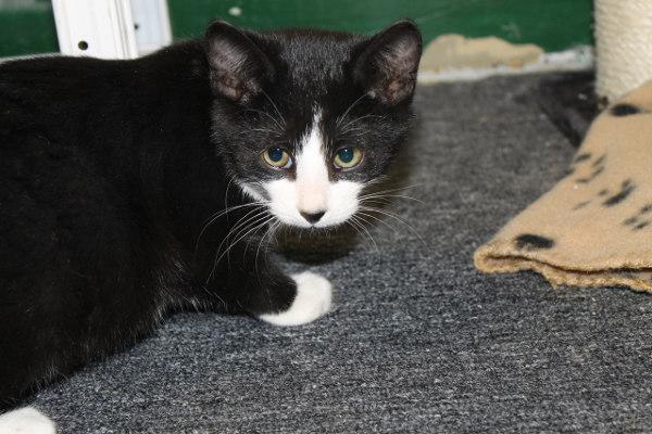 Adopt kitten named Felix
