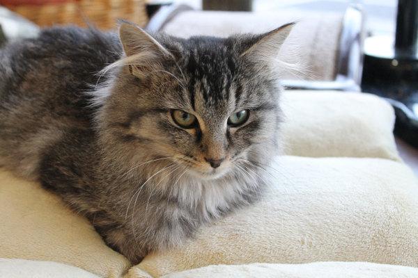 Adopt kitten Henry