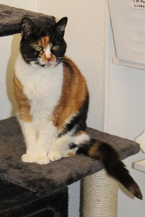 Adopt cat Maisie