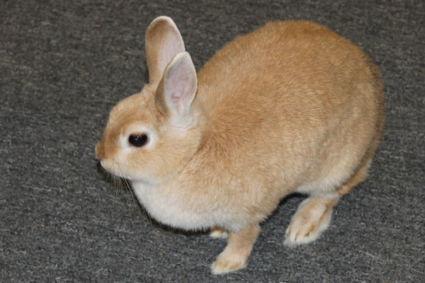 Adopt rabbit Tuffsy