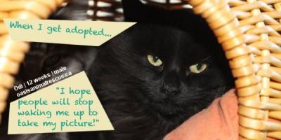 Adopt kitten Odi