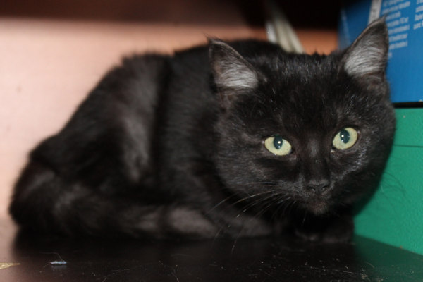 Adopt kitten Gemma