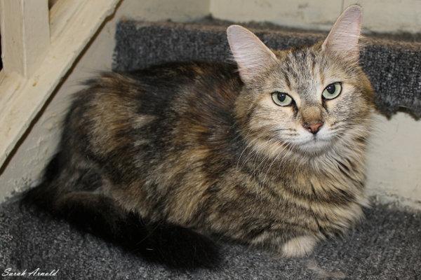 Adopt Cat Rouge