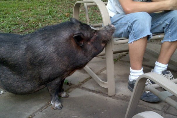 Pot bellied pig named Emma for adoption