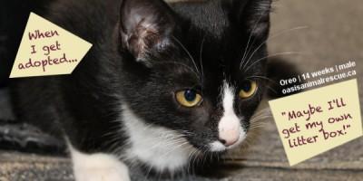 Adopt Kitten Oreo