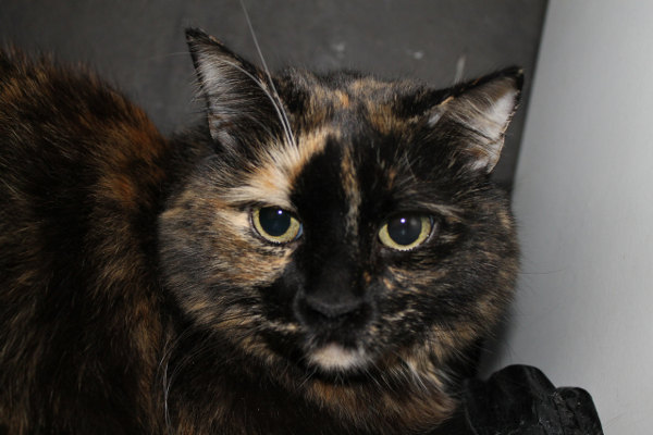 Cat for adoption: Cleo