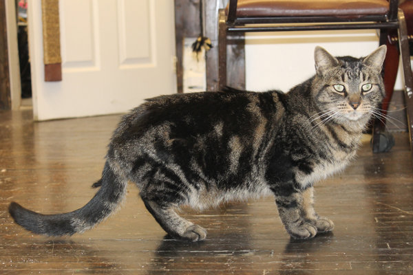 Harry, a cat for adoption