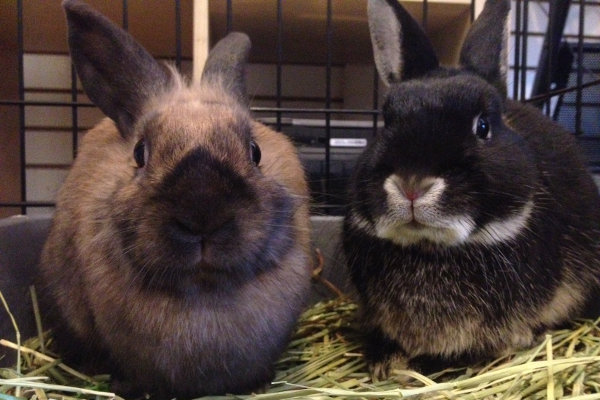 Rabbits Reese and Caden for adoption