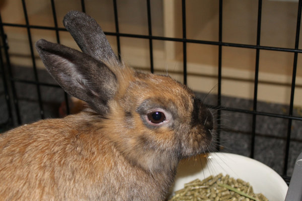 Reese - rabbit for adoption