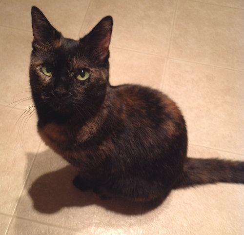 Shia, a cat for adoption