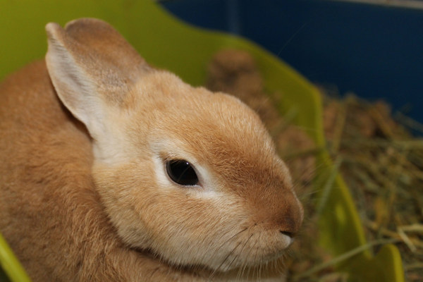 Tuffsy - a rabbit for adoption