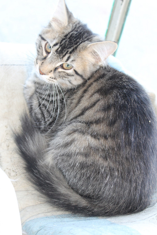 Kitten Waldo for adoption