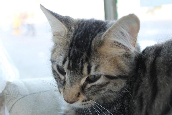 Kitten Waldo - for adoption.