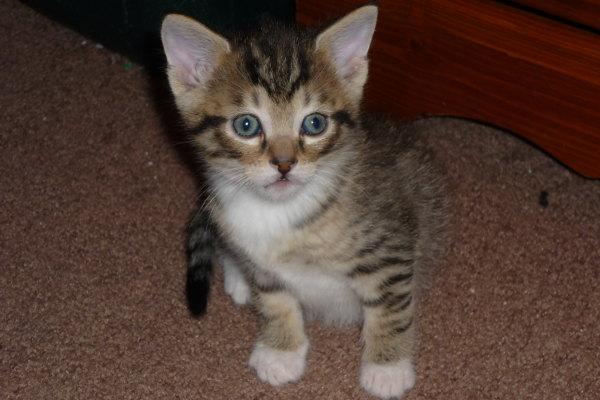 Kitten for Adoption. Bandit