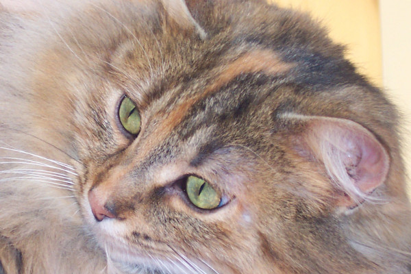 Cinnamon - a cat for adoption