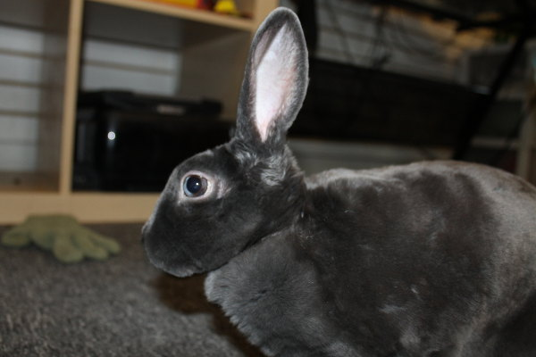 Dixie. A rabbit for adoption.