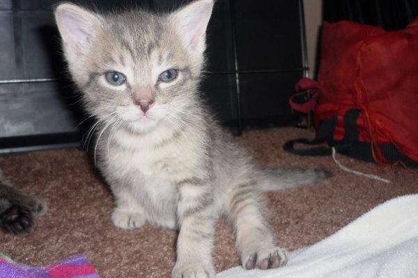 Kitten named Titan for adoption