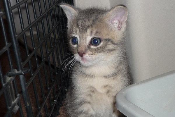 Titan. A kitten for adoption.