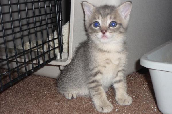 Titan - a kitten for adoption