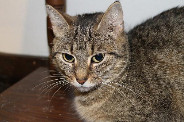 Blair A female cat for adoption.