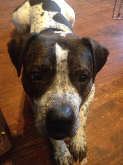 American Bulldog Cross named Cash is for adoption