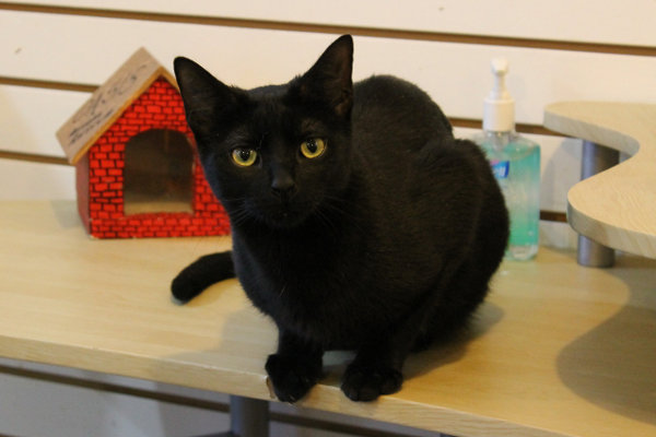 Cat Daisy-Jane for adoption