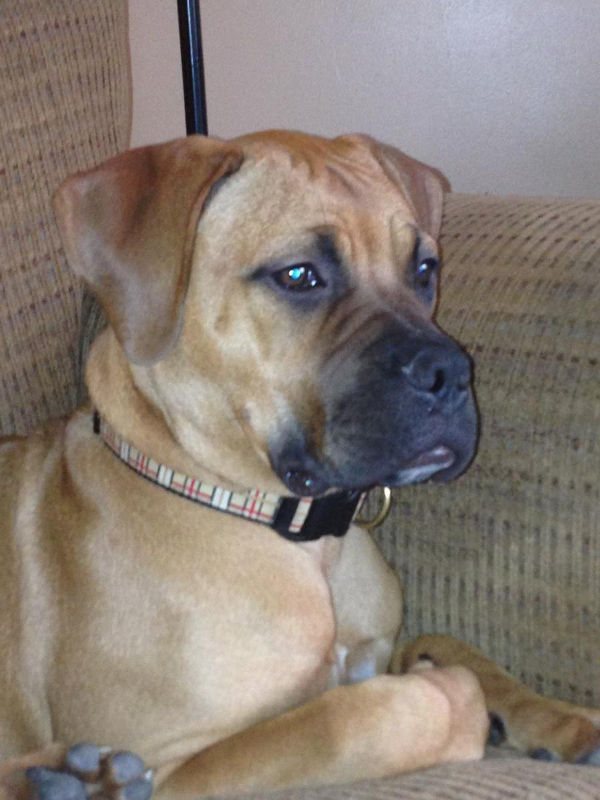 Bull Mastiff pup named Nora, for adoption.