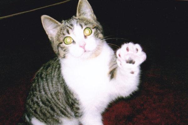 Smidgen. A cat for adoption.