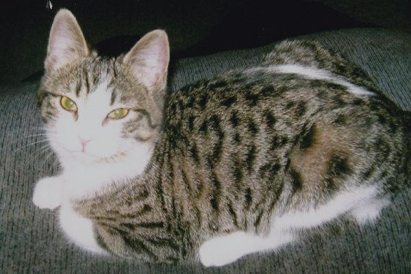 Smidgen. Lovely Cat for adoption